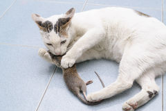 Cat catch and bite mouse, rat Stock Photos