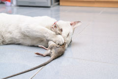 Cat catch and bite mouse, rat Royalty Free Stock Photo