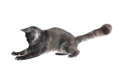 Cat catches prey Stock Images