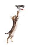 Cat Catching Bird in Flight. Young cat reaching up to catch a pet parrot bird in flight Royalty Free Stock Photos