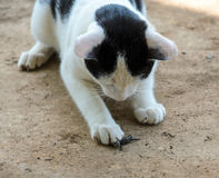 Cat catching a lizard Royalty Free Stock Photography