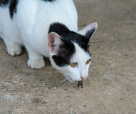Cat catching lizard on ground Royalty Free Stock Photography