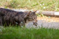 Cat catching mice, Hunting Animal Stock Image