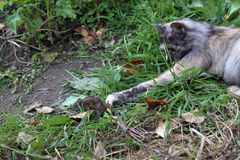 Cat catching mouse in grass. Royalty Free Stock Photos