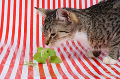 Cat and catnip royalty free stock photography