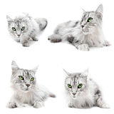 Cat cats. Maine Coon cat with big eyes.  Four cats collage on white for easy removal Stock Images