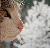 Cat. S eyes and muzzle and a cherry tree in bloom Stock Images
