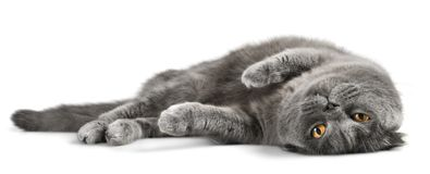Cat. S kitty feline grey tabby pet Stock Image