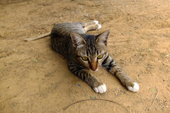 Cat. S are pretty hairy lounging Royalty Free Stock Images