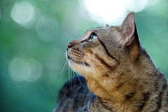 Cat. S are staring hopefully Royalty Free Stock Images