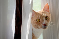 Cat Caught Behind the Curtain Stock Photo