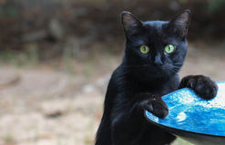 Cat-Caught at the bird bath. Black cat with surprised look standing on back paws at a blue bird bath Stock Image