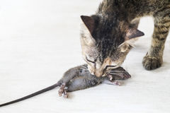Cat Caught A Mice Royalty Free Stock Photo