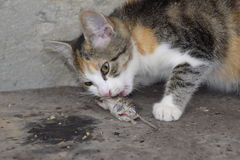 The cat caught the mouse. The cat eats the caught mouse. Home Hunter.  Stock Photo