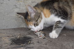 The cat caught the mouse. The cat eats the caught mouse. Home Hunter Stock Photography
