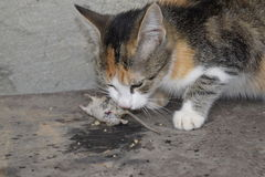 The cat caught the mouse. The cat eats the caught mouse. Home Hunter.  Royalty Free Stock Photos