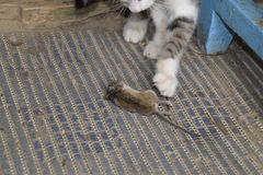 The cat caught the mouse. The cat eats the caught mouse. Home Hunter.  Stock Photography