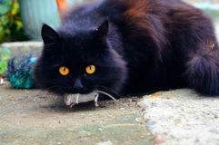 The cat that caught a mouse. Cat caught the mouse and now boasts production stock photo