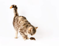 Cat caught the mouse by the tail. Royalty Free Stock Photography