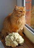Cat and the cauliflower Stock Photography