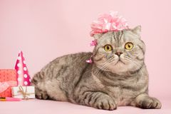 Cat celebrates birthday, on a pink background stock images