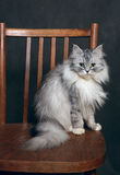 Cat on a chair Royalty Free Stock Image