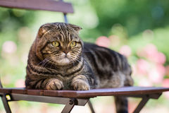 Cat on chair Royalty Free Stock Image