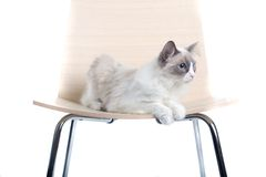 Cat on a chair Stock Images