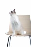 Cat On Chair Royalty Free Stock Photo