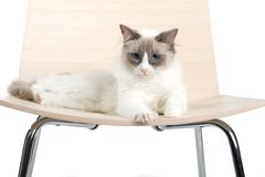 Cat on chair Royalty Free Stock Photography