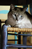 Cat on Chair Stock Photography