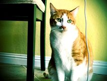 Cat with chair and cord Royalty Free Stock Photography