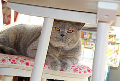 Cat on chair under table Royalty Free Stock Photos