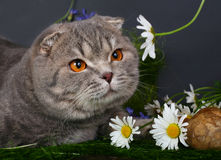 Cat with chamomiles Royalty Free Stock Photo