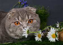 Cat with chamomiles Royalty Free Stock Image