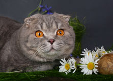 Cat with chamomiles Royalty Free Stock Photos