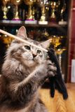 Cat champion plays a teaser toy stock photo