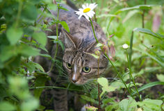 Cat chasing in grass Royalty Free Stock Photography
