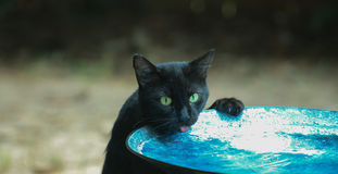 Cat-checking the water. Black cat standing on back paws and drinking from a blue bird bath Royalty Free Stock Image