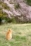 Cat and cherry blossoms Stock Photography