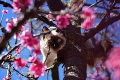 Cat in Cherry Tree. Beautiful Siamese cat exploring Okinawa cherry tree Stock Photos