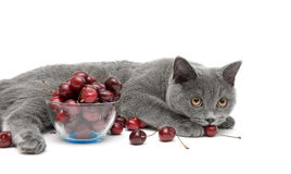 Cat and cherry on a white background Royalty Free Stock Images