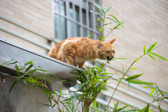 Cat chewing bamboo branch Stock Images