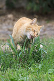 Cat chewing grass Royalty Free Stock Photo