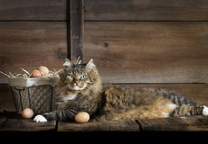 Cat with Chicken Eggs Stock Images