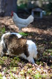 Cat and chicken in garden Royalty Free Stock Photo