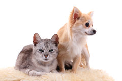 Cat and chihuahua are resting Stock Images