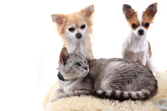 Cat and chihuahua are resting Royalty Free Stock Images