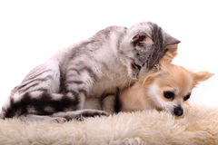 Cat and chihuahua are resting Stock Image