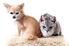 Cat and chihuahua are resting Royalty Free Stock Image
